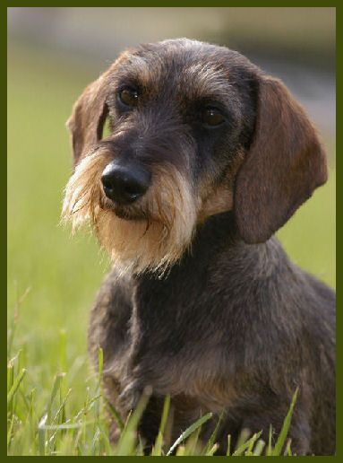 Wire hair daschund - this looks like our baby Oscar after he visits his groomer!