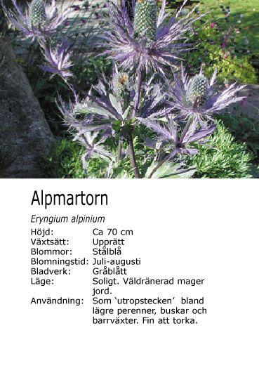 Alpmartorn en underbar blomma som passar bra vid södra väggen.