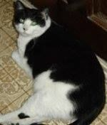 Gizmo missing since Aug 2007 from Vars, ON.  He is a 6+ year old neutered male Tuxedo / Extra-Toes Cat (Hemingway Poly-dactyl) mix with a black dot on nose, and has no collar or tags.  If found or seen please contact owner at 613-791-0425 my email belangerann@hotmail.com.