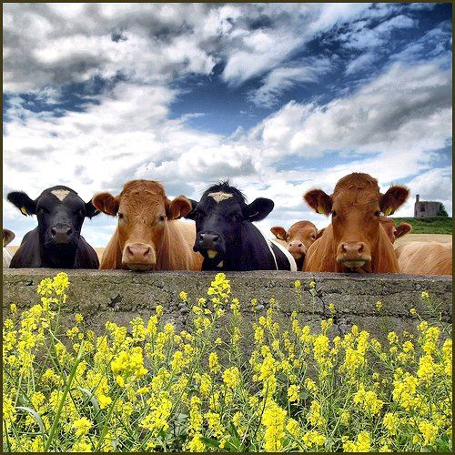 I miss my cows! I could spend hours standing at the fence feeding them wild flowers...those were the days