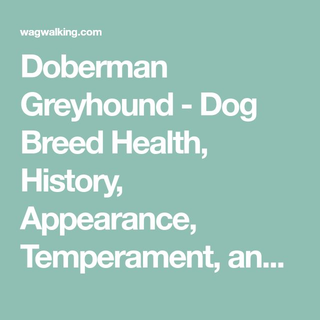 Doberman Greyhound - Dog Breed Health, History, Appearance, Temperament, and Maintenance