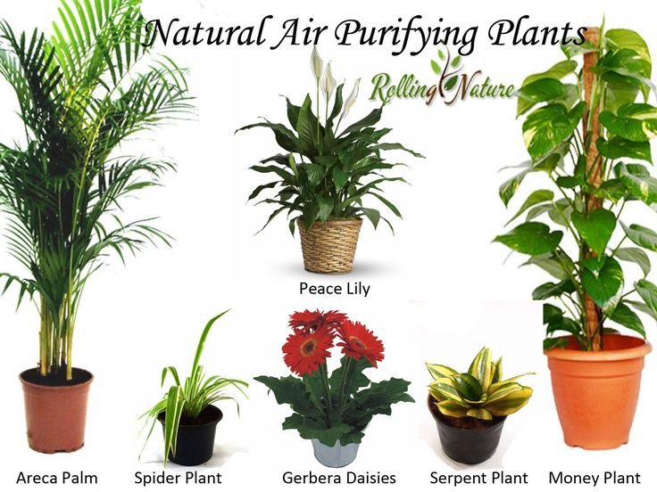 8 Best Images About Air Purifying Plants On Pinterest
