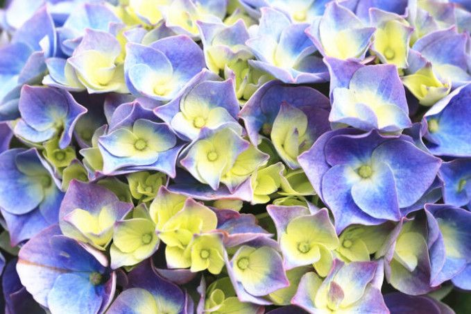 Five Common Misconceptions About Hydrangea Meaning Hydrangea Meaning In 2020 Flower Meanings Hydrangea Flower Hydrangea