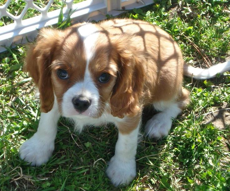 The numbers increased steadily, and in 1945 The Kennel Club first recognised the breed in its own correct as the Cavalier King Charles Spaniel.