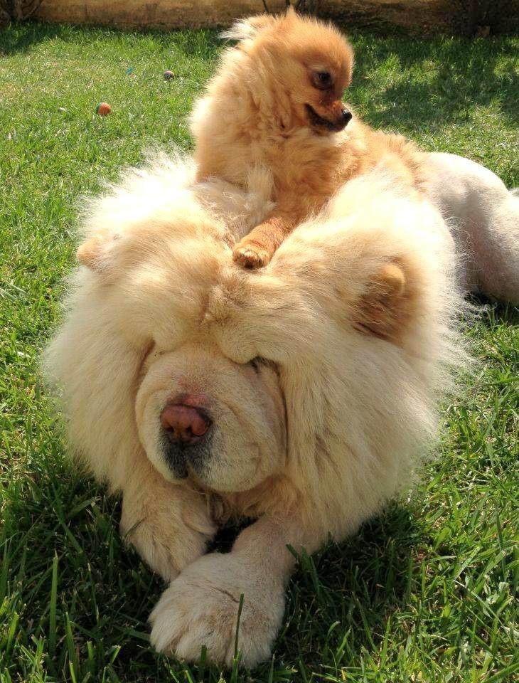 pomeranian chow chow and pom deadicated to dogs pinterest 209