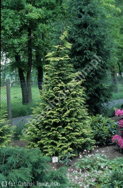 cyprysik Lawsona 'Stewartii' - Chamaecyparis lawsoniana 'Stewartii' | Katalog roślin - e-katalog roślin