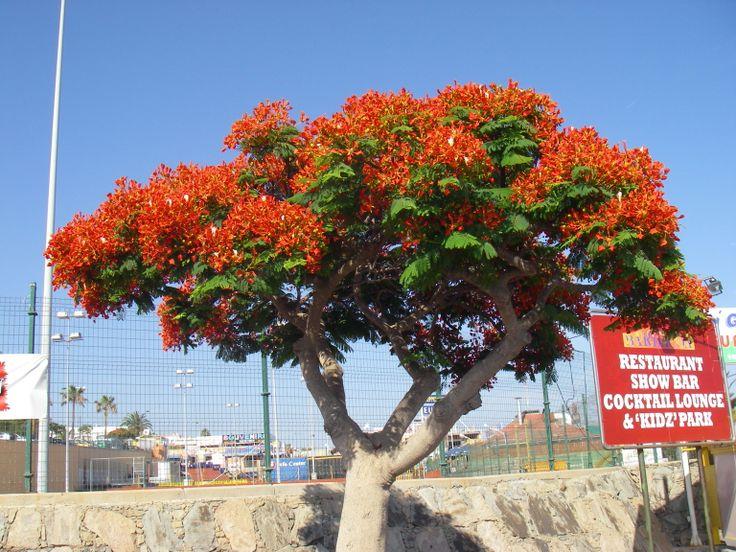 Delonix regia (Flambuoyant tree) in Puerto Rico, Gran
