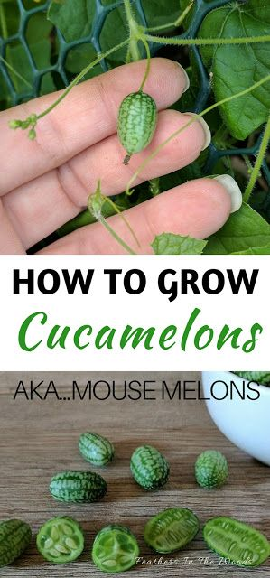 How to grow cucamelons. These small melon like cucumbers grow on a vine and produce from early spring through fall.