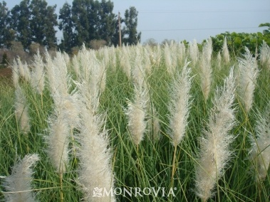 Ivory feathers dwarf pampas grass design the front yard for Ornamental grass with white plumes