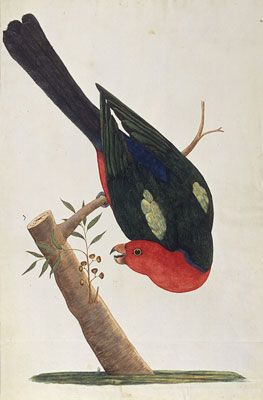 King Parrot by George Raper, First Fleet artist (1769 -1797)