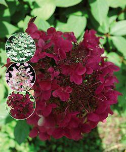 25 best ideas about hydrangea paniculata on pinterest. Black Bedroom Furniture Sets. Home Design Ideas
