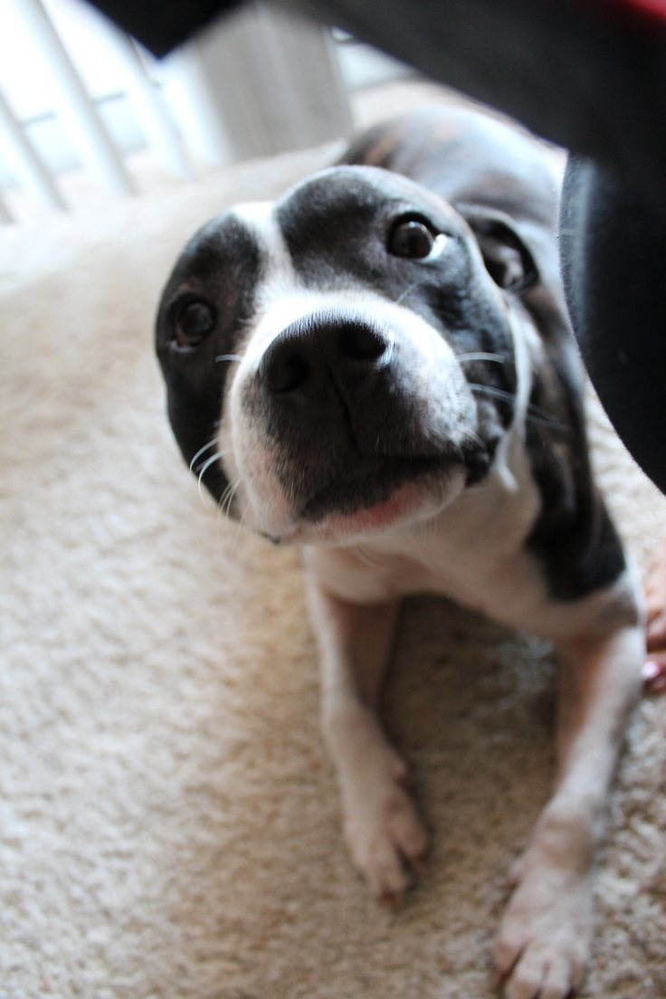 Tao. Staffordshire bull terrier. How cute is he/she?  I would kiss it alllll day!