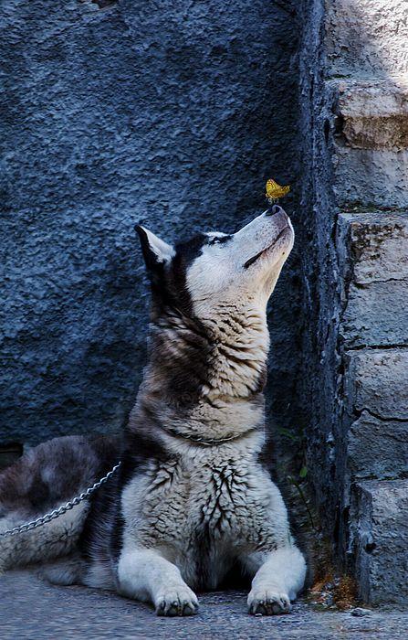 Romantic Husky By Irina Safonova Photograph - Romantic Husky by Irina Safonova#IrinaSafonova#Works #FineArtPhotography#HomeDecor #IrinaSafonovaFineArtPhotography #ArtForHome #FineArtPrints#HomeDecor  #Animal