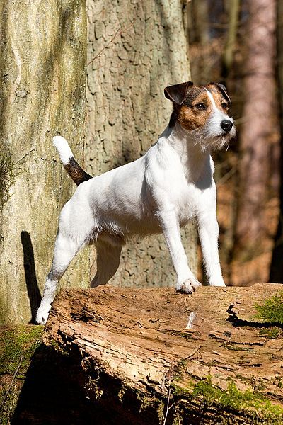 Jack Russell always on guard. Training
