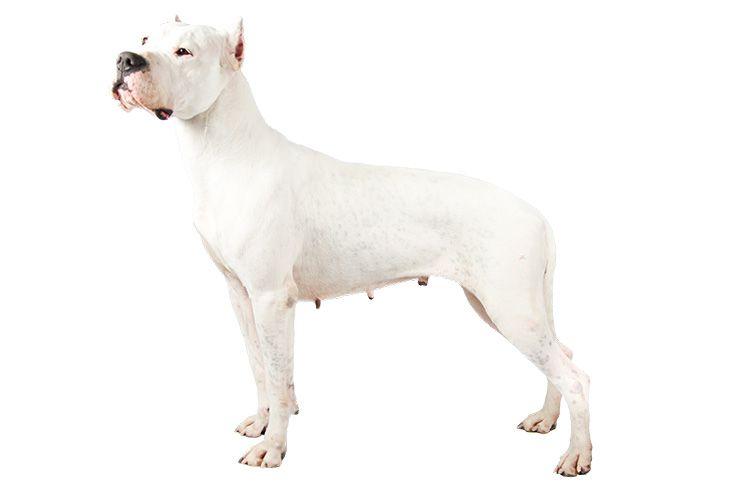 Dogo Argentino Dog Breed Information American Kennel Club Akc Dog Breeds Dog Breeds Large Dog Breeds