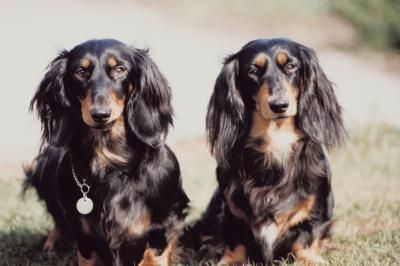 """Facts about miniature long haired Dachshunds! They are affectionately called """"weiner dogs,"""" but these long, little dogs are spunky hunters. As one of six types of Dachshunds, the Miniature Long-Haired Dachshund could be a handsome addition to your family."""
