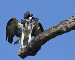 Image result for willie wagtail