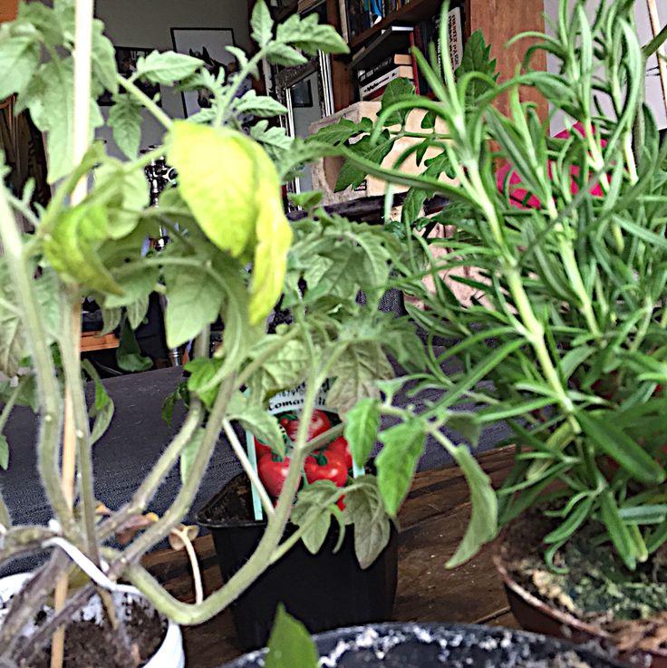 Tomatoes & herbs