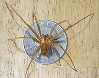 Brown Recluse spider bite: treat with bentonite clay hydrated with colloidal silver which contacting medical help.