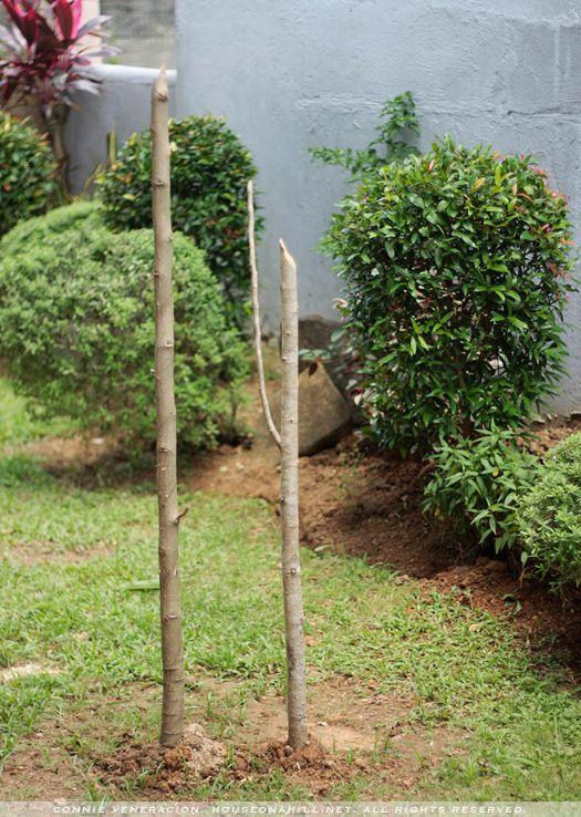 propagating moringa Ive always dreamed of a malunggay tree in the garden  CASA Veneracion