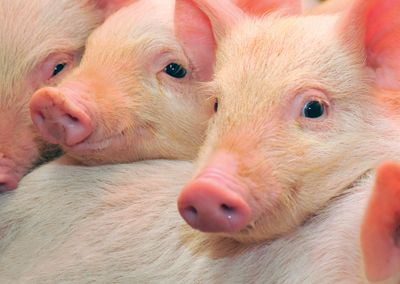 Pigs #postcards