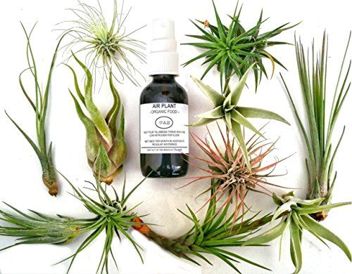 Have you adopted one of these spiky Tillandsias just to have it turn brown and crunchy? It's not your fault, air plants just require a different kind of care than we are used to with our houseplants. Once you know what to do, you will find  that air plants are one of the easiest and most …