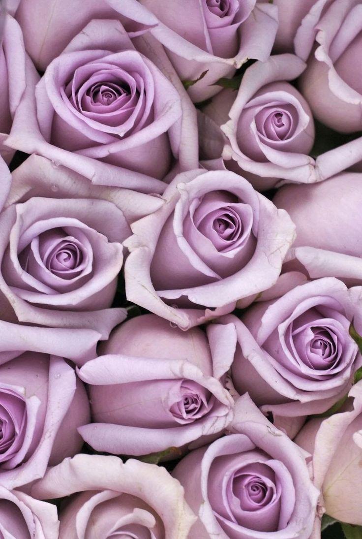 Маленькие розы картинки фиолетовый фон