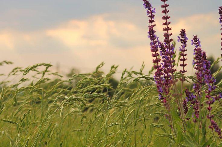 Még mindig a #levendula. Olyan szép volt hogy rengeteg képet készítettem róla. #lavender #dslr #nofilter #canon #canonhun #flower #mik