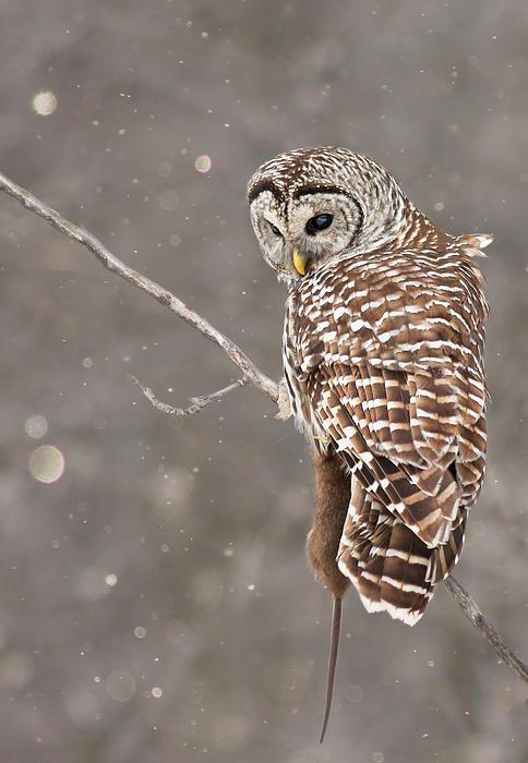 Barred owl in the snow - Mircea Costina Photography [fineartamerica]