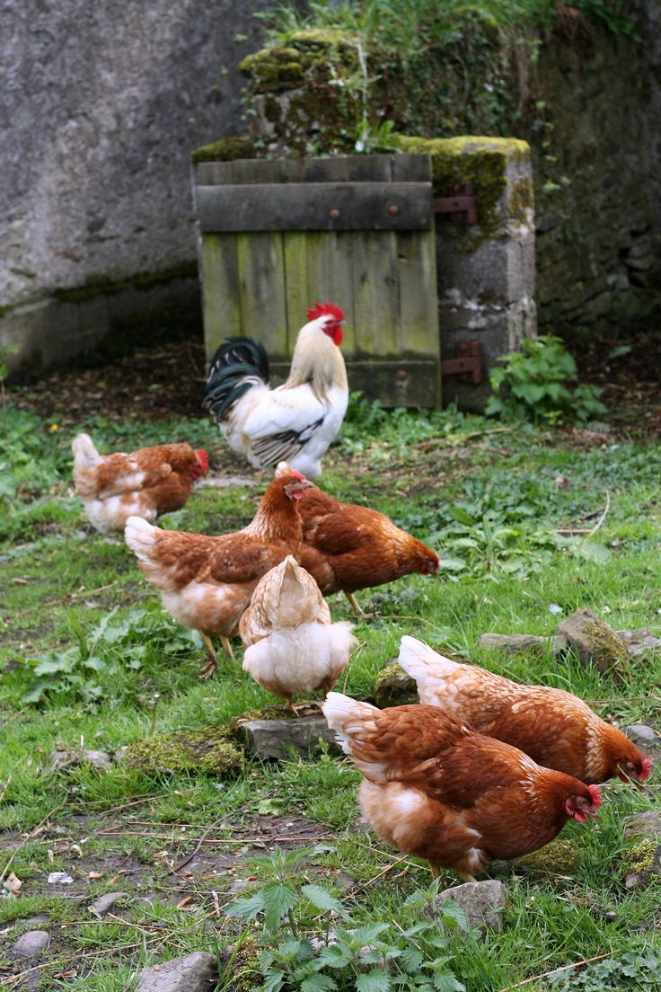 589 best chickens images on pinterest backyard chickens raising