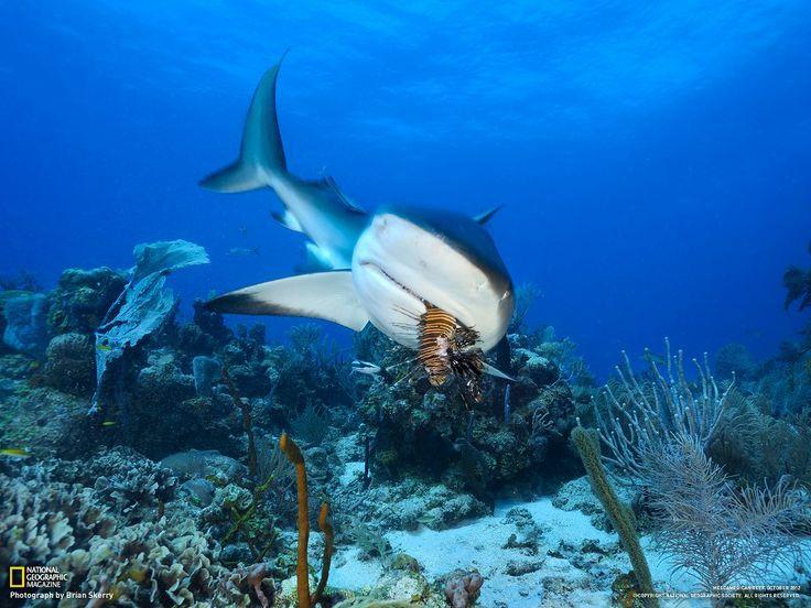 Caribbean Sea Creatures: A Caribbean Reef Shark Samples A Pacific Lionfish Near The