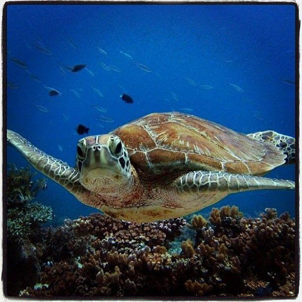#PADI #Turtle #Scuba