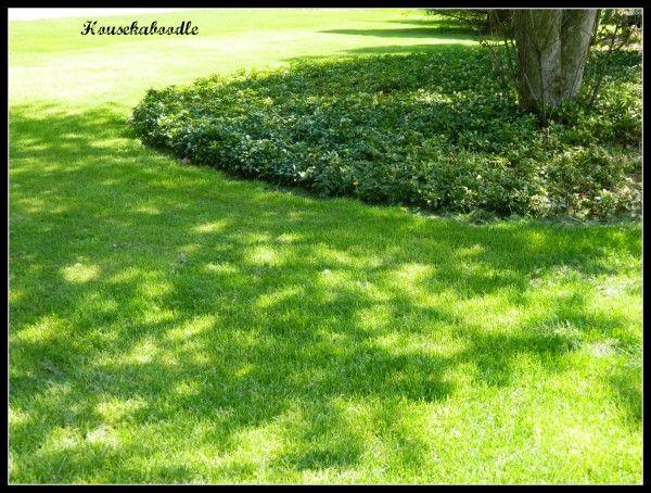 Pachysandra - low maintenance ground cover