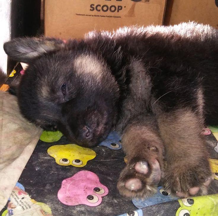 German Shepherd Dog dog for Adoption in Loganville, GA