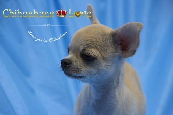Chihuahuas Love - Informar Sobre la Raza Chihuahua. Blog de Chihuahuas.