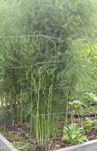 """Asparagus is a member of the Lily family of long-lived, storage-rooted perennial. Says The Trusty Gardener, """"When you stop harvesting the spears – which are the growing stems – the plants continue to send up new spears that grow and spread out into this wonderful, fluffy fern. You must allow the fern to collect sun and make sugars by photosynthesis to send down to the roots so the plant will have lots of energy to make lots more delicious spears for next year."""" Grows well with tomatoes."""