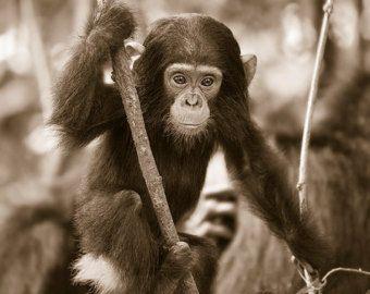 Bebé chimpancé foto impresión blanco y negro animalito | Etsy