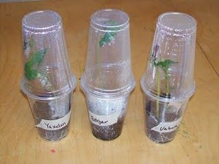 DIY greenhouses with clear plastic cups: Minis Greenhouses, Plastic Cups, Gardens Idea, Gardening, Diy'S Greenhouses, Greenhouses Growing, Green House, Preschool, Classroom Projects