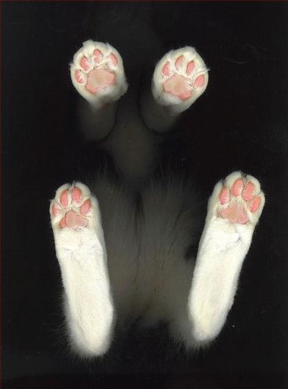 Kitty feet--I love kitty feet.  I am still in on at how fuzzy little kitty feet get when they are walking around. It is so cute. @Ricardo Sudario Afanador Lee Conci