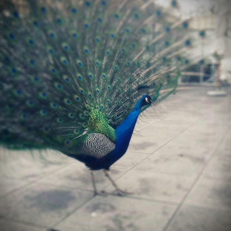 peacock @Park Łazienkowski, Warszawa, Poland