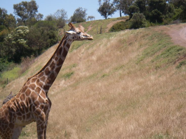 Werribee Open range Zoo, Giraffe's and more on the bus ride..