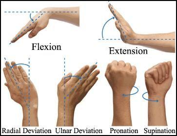 Metacarpal hand | http://www.revolutionarytennis.com/Resources/wristandhandterm.jpeg )