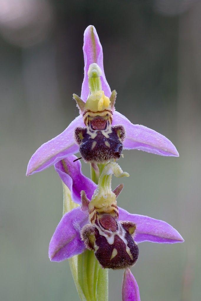 Ophrys apifera   Bienen-Ragwurz