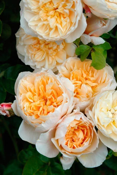 Jayne Austin  AUS  from Paul Barden's web site, objective reviews of some of Austin's roses.  He's in z9