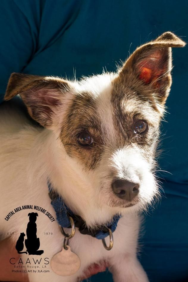 Sparky is a 6.5 mo. old Jack Russell Terrier mix available at Capital Area Animal Welfare Society (CAAWS), Baton Rouge, LA.