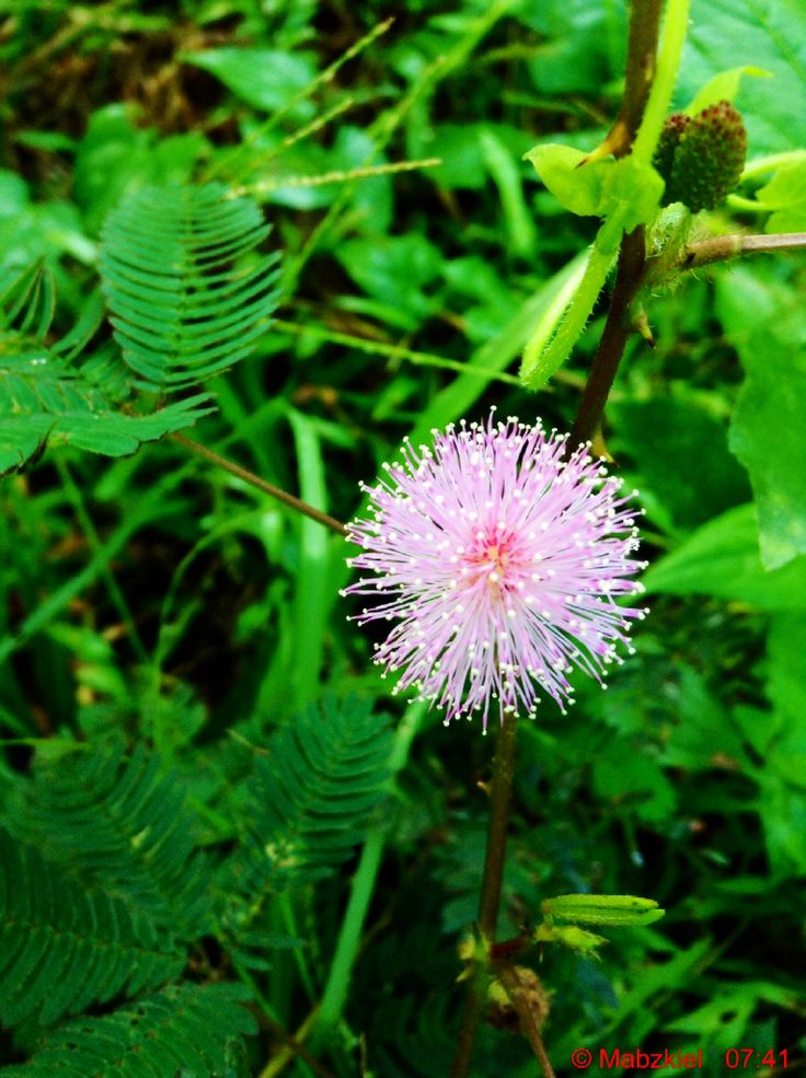 Flower Of A Makahiya Grass. Scientific Name: Mimosa Pudica