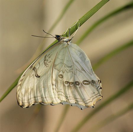 """Branca Camuflada  Uma borboleta tropical que vive no México e nas Índias Ocidentais. Possui uma série de """"olhos"""" na parte inferior das asas."""