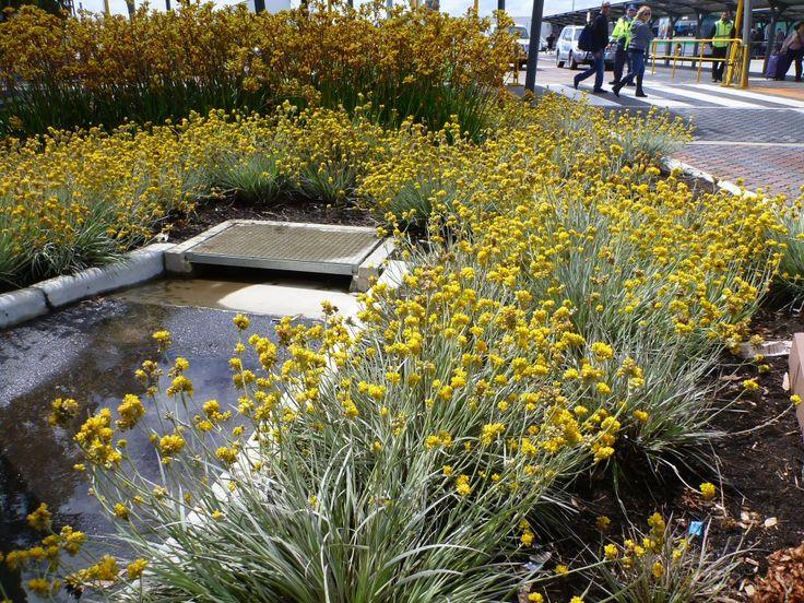 Angus's Top Ten Australian Plants For Colour - Conostylis Grey Cottonheads