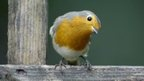 Red-breasted Robin in Britain