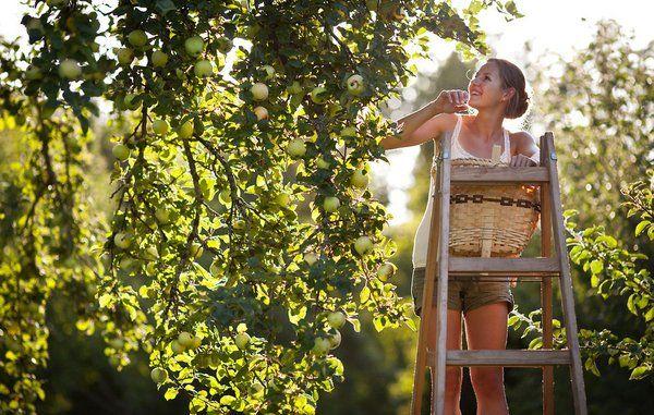 Bolius: Sådan tjekker du om æblerne er modne